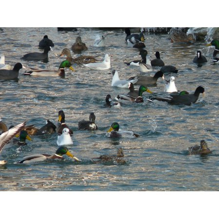 LAMINATED POSTER Gulls Feeding Water Coots Ducks Scrum Poster Print 24 x 36