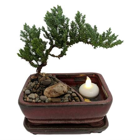 Reflections Japanese Juniper Bonsai Tree - Pot/Saucer/LED Floating Candle-6x4x2