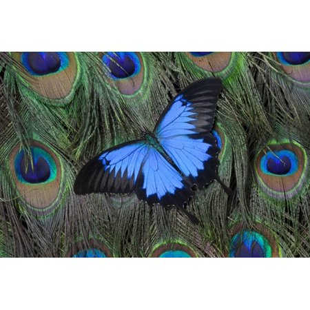Blue Mountain Swallowtail Butterfly on Peacock Tail Feather Design Print Wall Art By Darrell