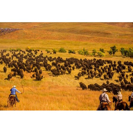 Buffalo Round Up, Custer State Park, Black Hills, South Dakota, United States of America Print Wall Art By Laura Grier