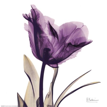 (Royal Purple Parrot Tulip Art Print  By Albert Koetsier)