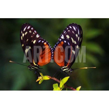 Tropical Butterflies Dido Longwing on the Leaf. Macro Photography of Wildlife. Print Wall Art By