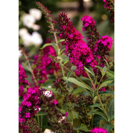 Royal Red Butterfly Bush Perennial - Buddleia - Gallon Pot