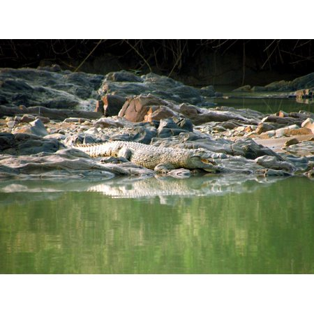LAMINATED POSTER Crocodile River Animal Water Green Namibia Wild Poster Print 24 x (Green Crocodile Print)