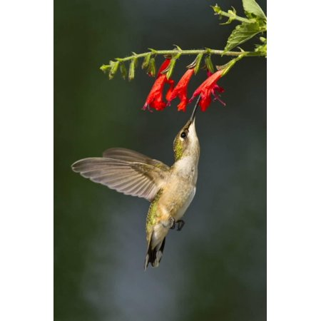 Ruby-Throated Hummingbird (Archilochus Colubris) Feeding, Texas, USA Print Wall Art By Larry Ditto