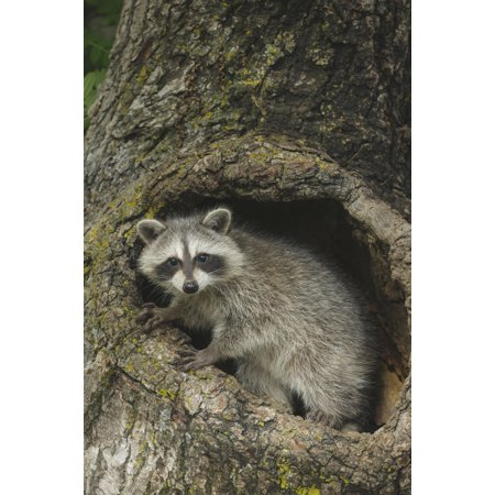 Young raccoon (Procyon lotor) in hollow stump Montana United States of America Canvas Art - Rebecca Grambo  Design Pics (12 x (Quick Way To Hollow Out A Stump)