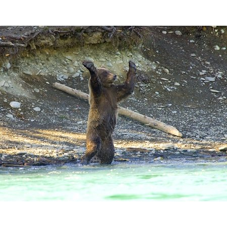 Laminated Poster Bear Standing Up With Paws Facing Outward Poster Art Wild Animals Posters Poster Print 24 x 36 - Bear Standing Up