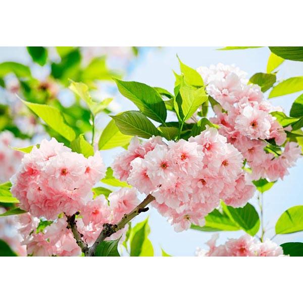 Ideal Décor Sakura Blossom Wall Mural
