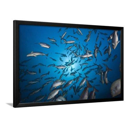 Blue-Bronze Sea Chub School (Kyphosus Analogus) Framed Print Wall ...