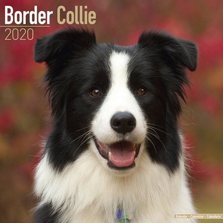 Border Collie Calendar 2020 - Border Collie Dog Breed Calendar - Border Collies Premium Wall Calendar 2020