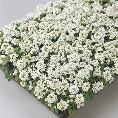 Alyssum Easter Bonnet Seeds - Color: White - Approx 5000 Annual Flower Garden Seeds - Lobularia maritima ()