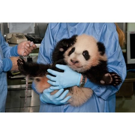 Giant Panda young held by zoo staff native to China Poster Print by San Diego Zoo - Halloween Displays San Diego