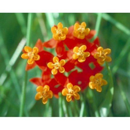 The Dirty Gardener Asclepias Curassavica Bloodflower Tropical Milkweed Flowers, 50