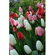 TULIP - FLOWERING BULB - .75PT - ASSORTED COLORS
