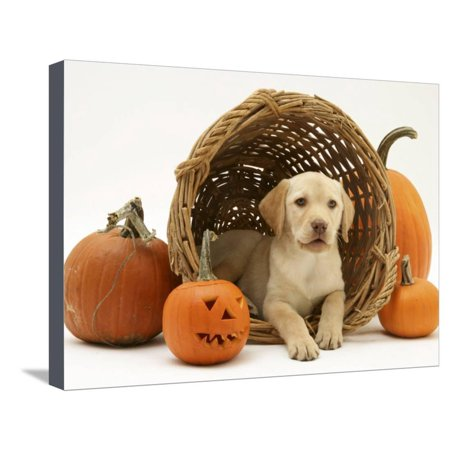 Yellow Labrador Retriever Pup Lying in Wicker Basket and Pumpkins at Halloween Stretched Canvas Print Wall Art By Jane Burton ()