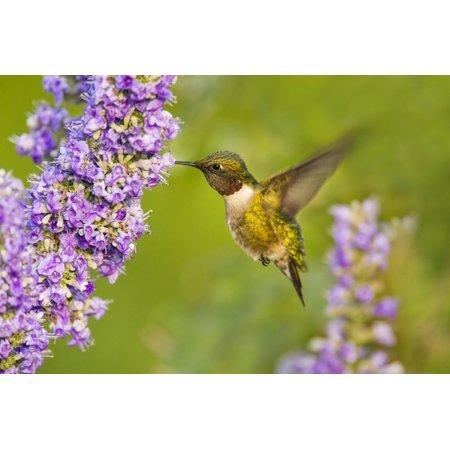Ruby-Throated Hummingbird (Archilochus Colubris) Male Feeding Print Wall Art By Larry