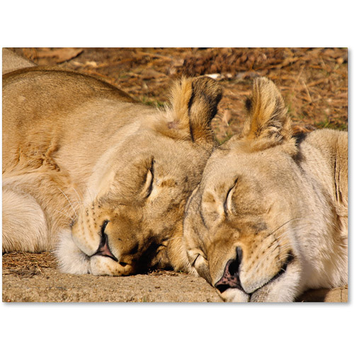 """Trademark Fine Art """"National Zoo - Lions"""" Canvas Art by CATeyes"""