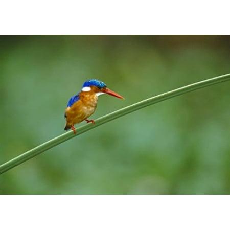 Malachite Kingfisher Tanzania Africa Poster Print by Panoramic Images (16 x 12)