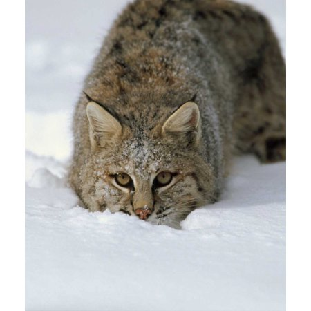 Bobcat crouching in snow Colorado Poster Print by Konrad Wothe (12 x (Bobcat Snow)
