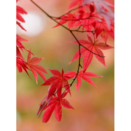 Red Maple Leaves at Okochi-Sanso Villa Teahouse and Gardens Print Wall Art By Brent Winebrenner (Teahouse Garden)