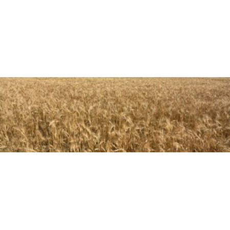 Otter Tail (Wheat crop in a field Otter Tail County Minnesota USA Canvas Art - Panoramic Images (18 x 6) )