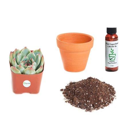 Echeveria Plant - Shop Succulents Echeveria 'Colorata' 2In Plant Kit