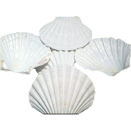 Set of 8 Large White Baking Scallop (3.5