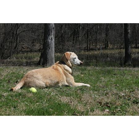 LAMINATED POSTER Hybrid Labrador Golden Retriever Pet Dog Rescue Poster Print 24 x 36