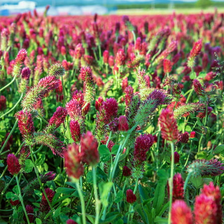 Crimson Clover Seeds - 1 Oz - Cover Crop, Non-GMO, Open Pollinated, Perennial, Heirloom - Pelleted & Inoculated w/ Nitrogen Fixing