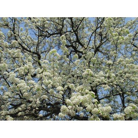 LAMINATED POSTER Plant Park White Cherry Blossom Poster Print 24 x (Cherry Blossom Plate)