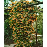 """Mandarin Honeysuckle Vine - Perennial - Lonicera - 2.5""""  Pot"""