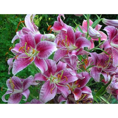 Giant Stargazer Oriental Lily - 12 Flower Bulbs