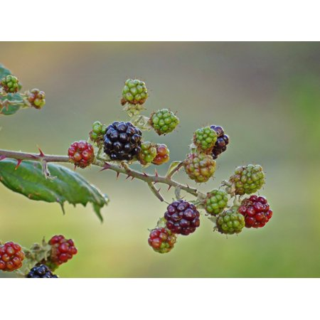 Canvas Print Berries Fruit Fruits Bramble Prickly Blackberries Stretched Canvas 10 x 14