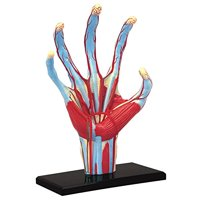 4D Human Hand Anatomy Model