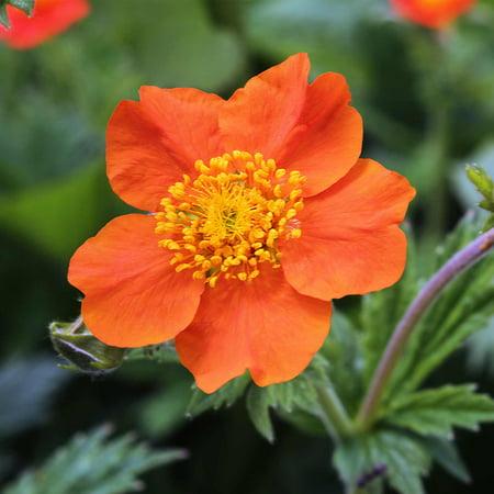 Mrs Bradshaw Geum Flower Garden Seeds 1000 Seeds Perennial