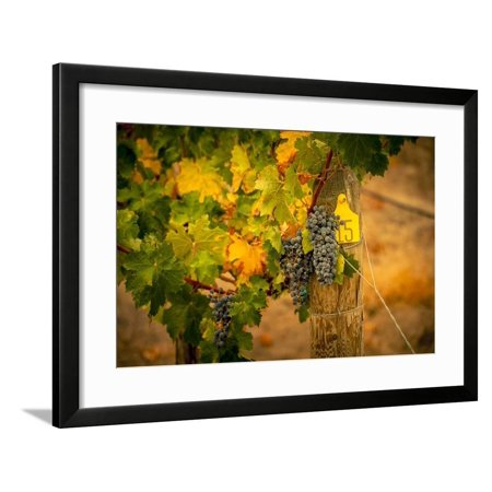 Washington State, Red Mountain. Cabernet Sauvignon Grapes at Hightower Cellars Framed Print Wall Art By Richard Duval