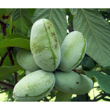 Paw Paw Trees 2 Plants - Banana fruit - Asimina triloba - PawPaw - Gallon Pots