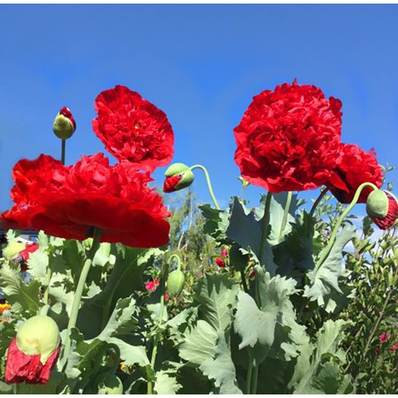 Papaver Somniferum Poppy Seeds - Red Shades Double Oriental Poppy - Papaver - Quart Pot