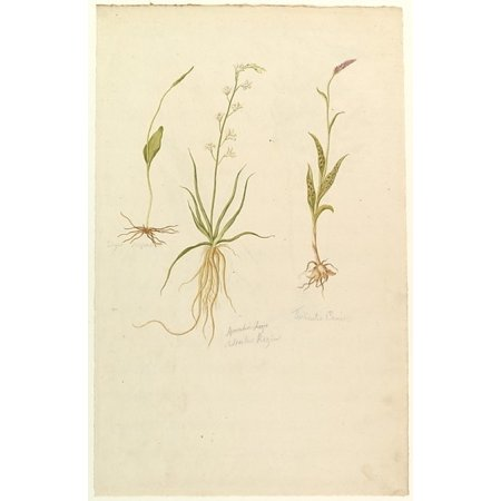 Botanical Studies (recto); Botanical Studies (verso) Poster Print by Anonymous  French  19th century (18 x 24)