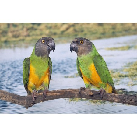 Senegal Parrot Two Print Wall -