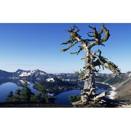 USA Crater Lake National Park Oregon Gnarled Pine Tree Snag Above Crater Lake And Wizard Island PosterPrint (Lake Pipe)