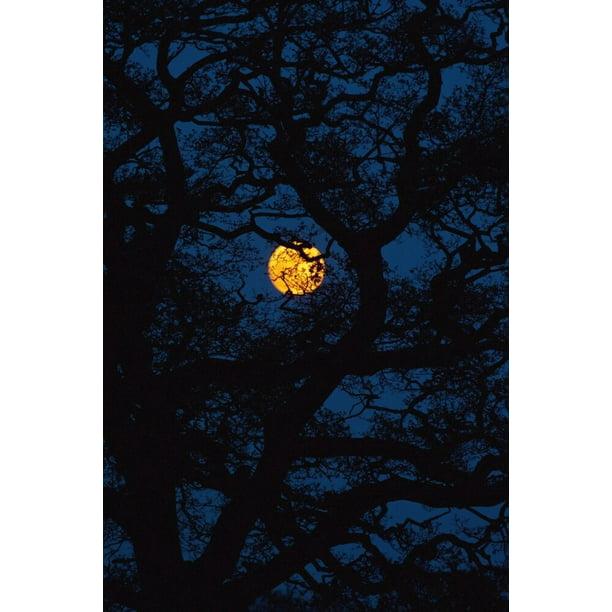 Moon Rising Behind Old Oak Tree Petersfield Hampshire Uk Posterprint Item Vardpi2091285 Walmart Com Walmart Com