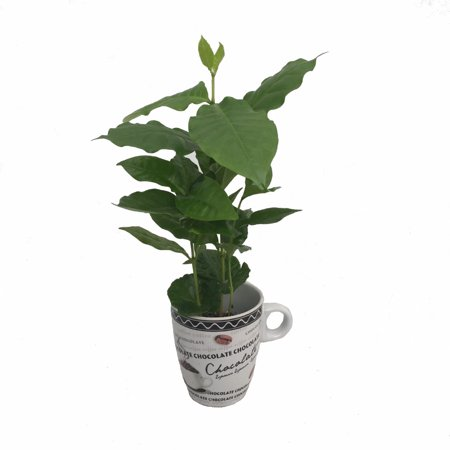 Cup of Coffee/Coffee Plant - White Ceramic Coffee Cup with a Live Coffee