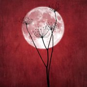 Give Me the Moon Red Flower Fine Art Photo Print Wall Art By Philippe Sainte-Laudy