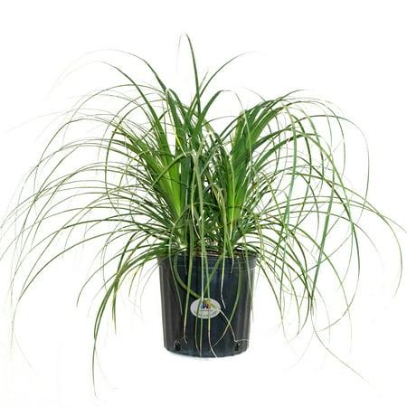 Beaucarnea Recurvata House Plant on