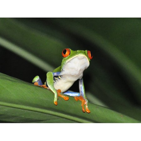 Laminated Poster Jungle Frog Rainforest Nature Red-Eyed Tree Frog Poster Print 11 x 17