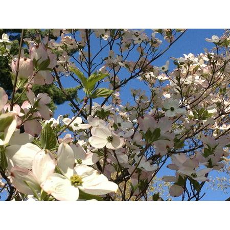 LAMINATED POSTER Petal Blooms Tree Dogwood Bright Growth Season Poster Print 11 x 17](Dogwood Bloom)