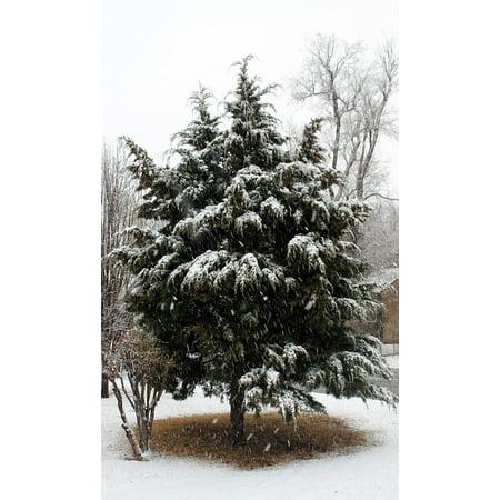 Cedar Cold Frame (LAMINATED POSTER Oklahoma Winter Cedar Tree Cold Snow Midwest City Poster Print 24 x)