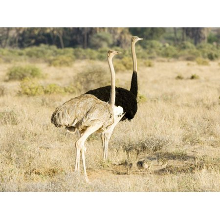 Ostrich, Male and Female with Chicks, Kenya Print Wall Art By Mike (Ostrich Chicks)