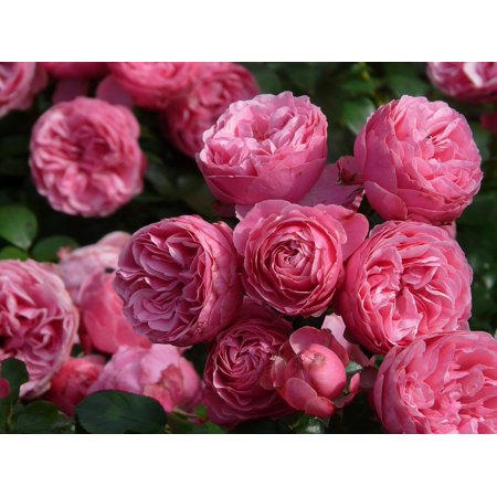 canvas print roses pink pomponella floribunda rose rose flower stretched canvas 10 x (Floribunda Rose)